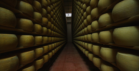 in parma in a cheese warehouse Parmesan a forklift accompanies the camera in a tunnel of forms of Parmesan cheese