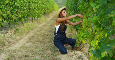 girl in September to harvest vineyards , collects the selected grape bunches in Italy for the great harvest. biological concept id , organic food and fine wine handmade