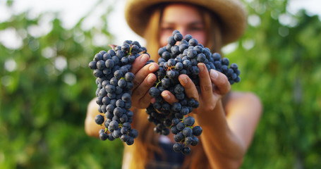 girl in September to harvest vineyards , collects the selected grape bunches in Italy for the great harvest. biological concept id , organic food and fine wine handmade Fototapete