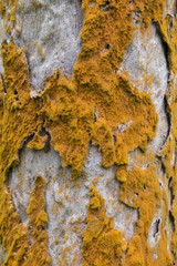 Brown fungus on a tree bark