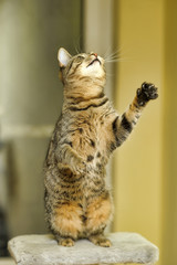 A tabby cat is standing on its hind legs