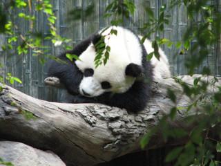 Really Cute Panda Bear Sleeping on a Log