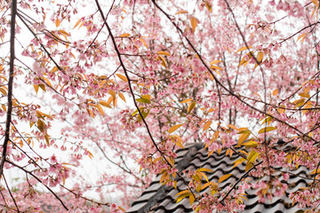 Pink cherry blossom flower on spring with roof at Doi Angkhang Chiang Mai Thailand.