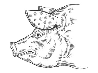 Pig head engraving style vector illustration