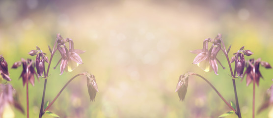 Floral blurred background, banner. Aquilegia flowers