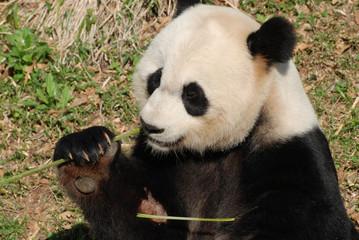 Giant Panda Feeding Himself Shoots of Bamboo