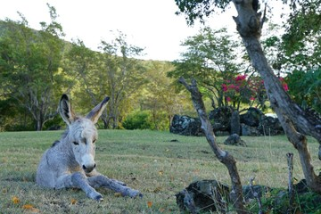 A newborn baby donkey on the grass in the Caribbean