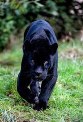 Wall Murals Panther Black Panther