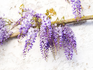Purple wisteria plant growing on the wall in Portugal