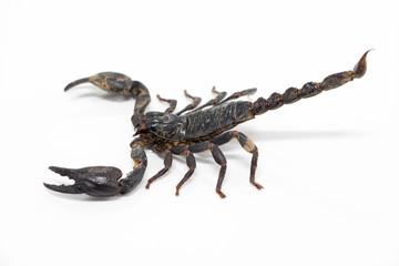 Scorpionidae for education in laboratory.