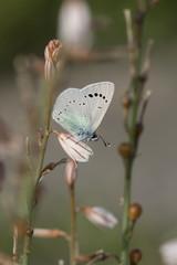 green-underside blue (glaucopsyche alexis) butterfly.