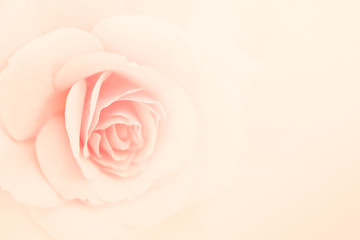 pink rose flower in vintage color style for romantic background