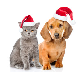 Dachshund puppy and kitten in red christmas hats together. isolated on white background