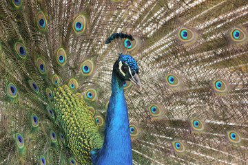 Peacock showing its feathers