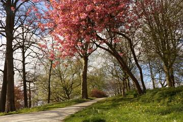 Acrylic Prints Cherryblossom Kersenboom in bloem in de Prinsentuin in Leeuwarden