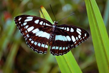 Farfalla bianca e nera posata close up