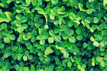 Green background with three-leaved shamrocks.