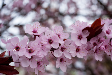 Pink apple blossoms 1