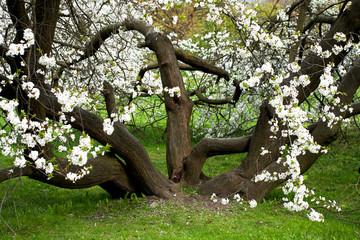 sprawling apple tree