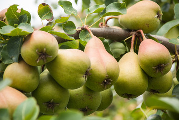 ripe pears hanging on branch