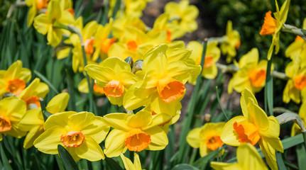 Цветущие желтые нарциссы