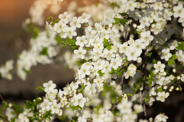 Spring nature concept. Closeup of white flowers on blured background. Flower background.