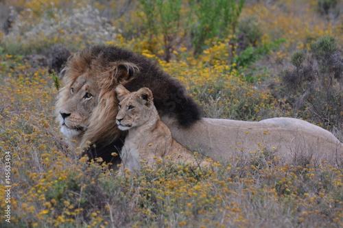 leone e leoncino
