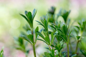 Galium aparine cleavers, clivers, goosegrass, catchweed, stickyweed, robin-run-the-hedge, sticky willy, sticky willow, stickyjack, stickeljack, and grip grass