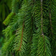 Weeping Evergreen tree branches