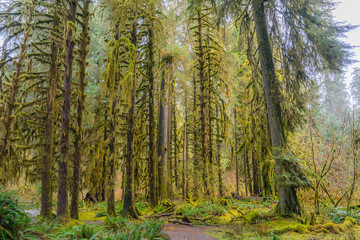 The Olympic Peninsula is home for gorgeous rain forests. Hoh Rain Forest, Olympic National Park, Washington state, USA