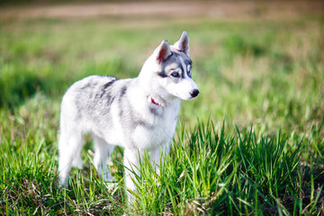 Puppy of husky stands on green grass