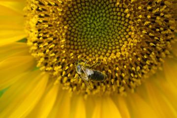 honeybee collects pollen on yellow sunflower