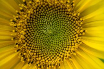 macro shot of a beautiful sunflower