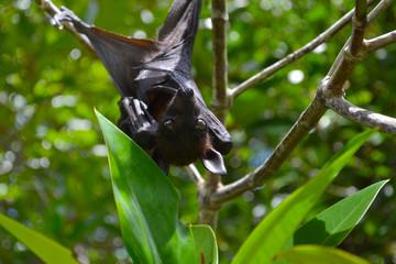 Fruit bat, flying fox, hanging upside down among green leaves on a tree, Sri Lanka