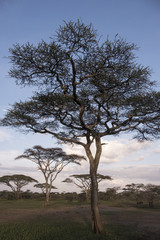 Acacia Tree at Sunset, Serengeti