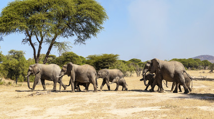 Herd of African elephants in Serengeti National Park, . True wildlife photography