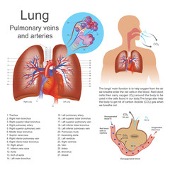 lung. Vector graphic.