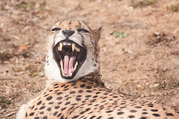 Cheetah yawns while lying on the ground under the sun