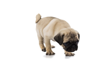 Puppy pug isolated on white background.