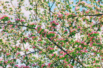 Summer spring background of twigs blossoming apple tree