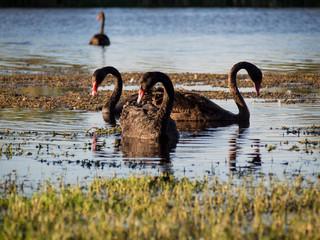 Black Swans on a lake, Western Australia
