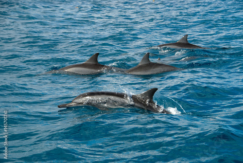 Spinner dolphins, Solomon Islands