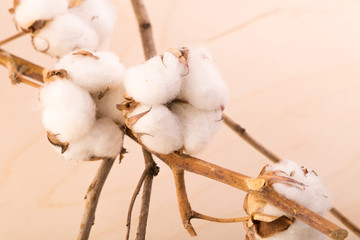 Branch with flowers of cotton, background