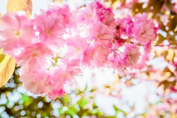 Sakura. Cherry blossoms japan. Pink spring blossom background. Soft focus
