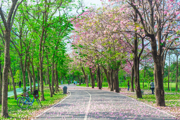 Flowers of pink trumpet trees are blossoming in  Public park of Bangkok, Thailand