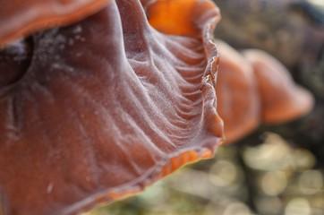 Auricularia Auricula Judae Jews Ear