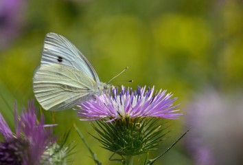 Beautiful white butterfly among flowers of wild thistle