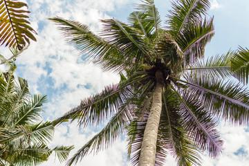 Coconut tree against the sky. Autumn foliage.