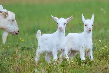 山羊の子供