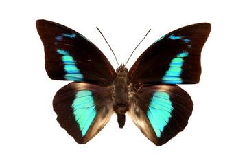 бабочка turquoise emperor